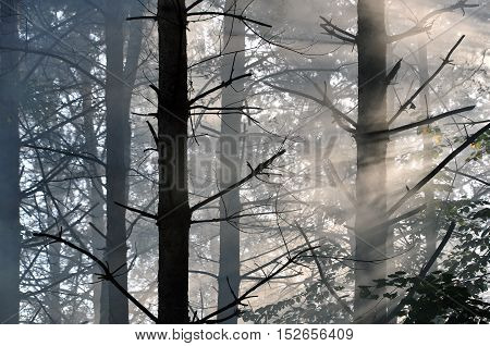 Autumn pine forest in the fog with rays of sun.