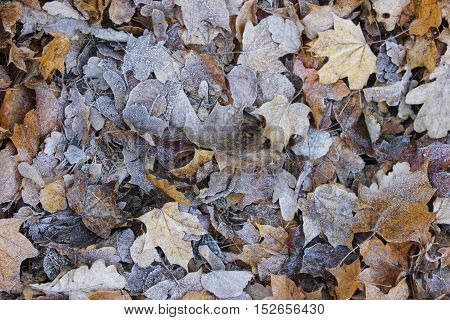 Rimy autumn leaves texture on the ground