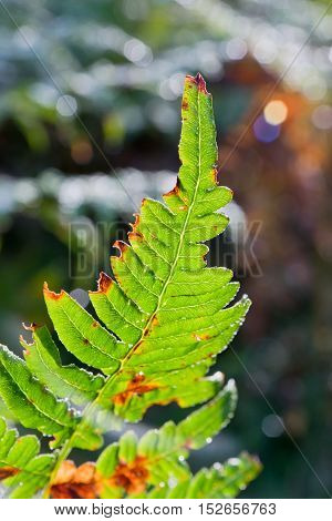 Close up of fern leaf in sunshine in autumnal forest.