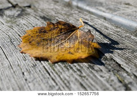 Closeup of aspen tree leaf on wooden bench on sunny autumn day.