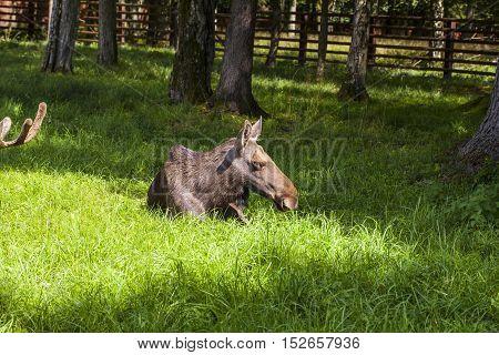 elk lying in Bialowieza National Park, Poland