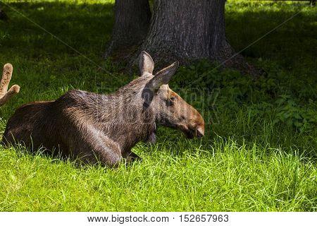 Elk Lying On The Grass, Bialowieza National Park