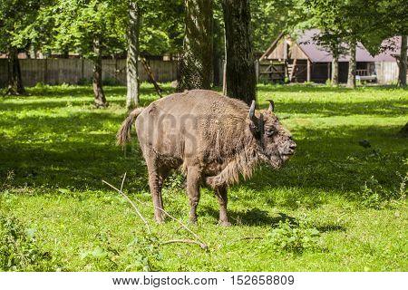 Beautiful Specimen Of Bison In The Bialowieza National Park