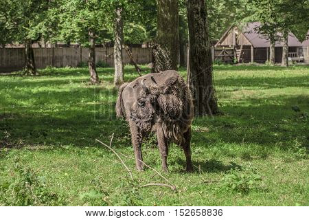 Bison Look Back In Bialowieza National Park
