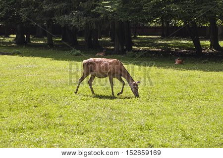 Deer Eats The Grass Bialowieza National Park