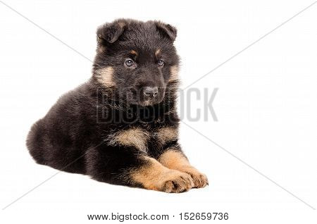 German Shepherd puppy lying isolated on white background