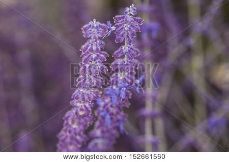 Close-up Of Inflorescence Of Lavender