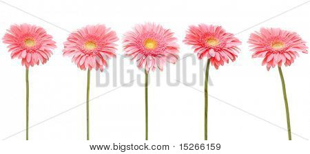 five gebera (african daisy) isolated on white
