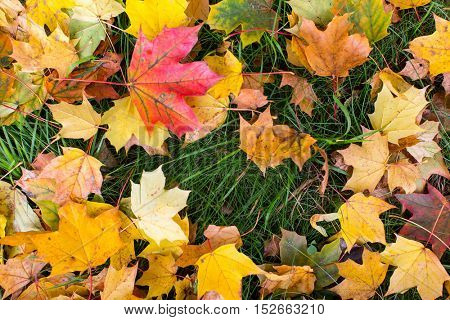 Yellow and red leaves on green grass, autumn background.