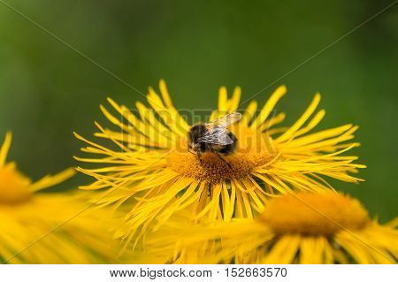 Close up of yellow flowers and bees