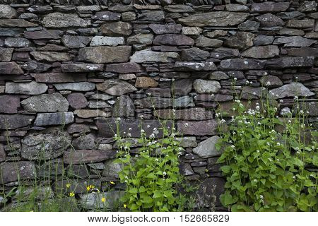 Cumbrian wall with Hedge Garlic background, England