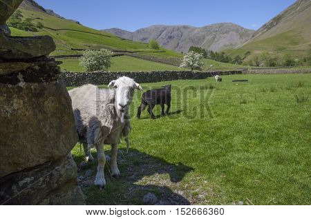 Sheep at Wasdale Head, Wast Water, Lake District, Cumbria, England