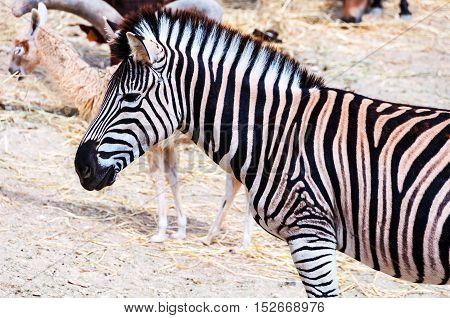 Close view of Zebra in Safari Park in Costa Blanca Spain