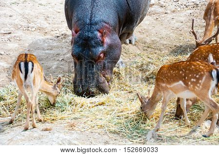 Close view of Hippopotamus surrounded with Spotted Deers. Everyone is comfortably having there Meal. Safari Park in Costa Blanca Spain