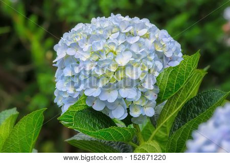 Hydrangeas blooming in the garden is beautiful, this flower is grown in the temperate zone