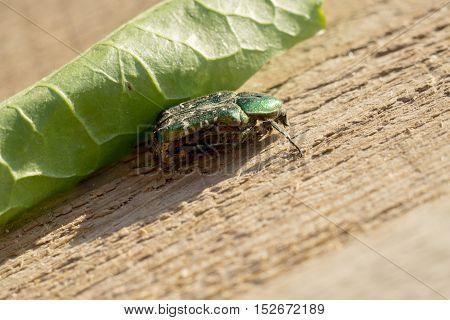 Green May Beetle
