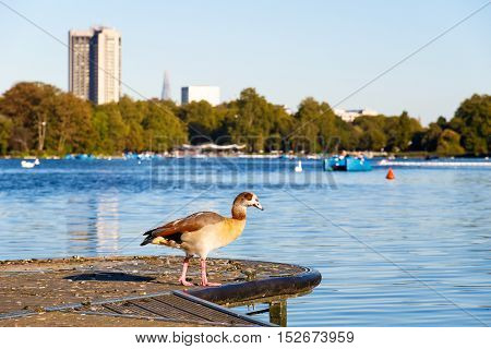 Egyptian goose on lakeside with the Serpentine lake in the background in Hyde Park London
