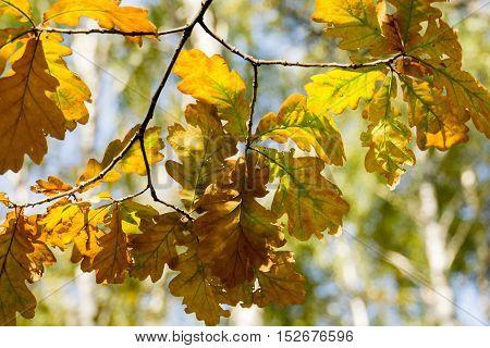 Yellow Oak Leaves