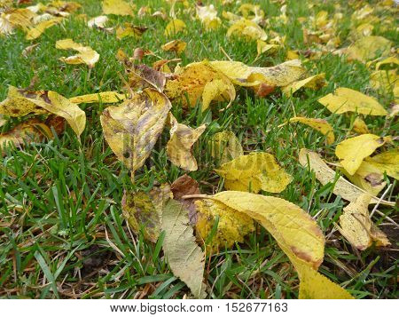 Autumn Yellow Leaves On A Green Grass