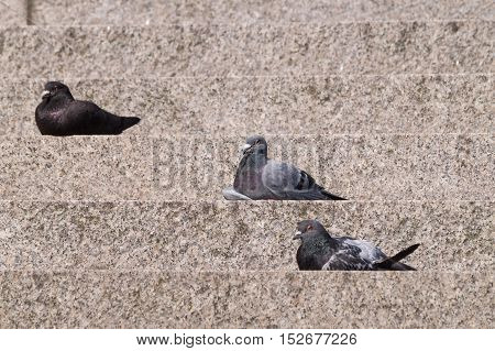 Close up of a pigeon bird. Pigeon birds