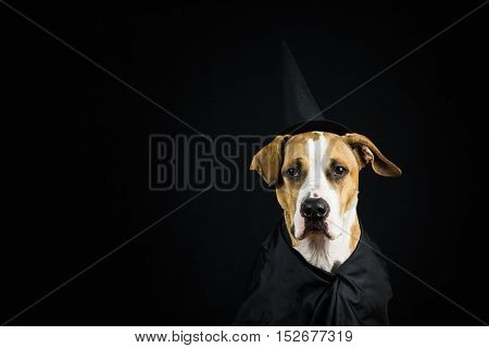Dog in halloween costume. Dog dressed up as witch for halloween wearing black hat and gown posing in front of dark background.