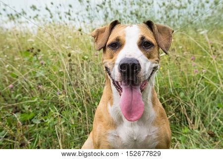 Smiling dog in the field on summer day. Young staffordshire terrier dog with big put out tongue sitting in the field among grasses and flowers on sunny day.