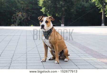 Dog in bandana sitting outdoors. Dog in black bandana sitting on a pavement downtown.