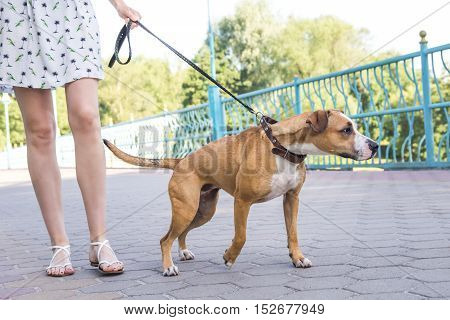 Dog pulling on a leash. Naughty untrained dog pulling on a leash, person not controlling the dog.