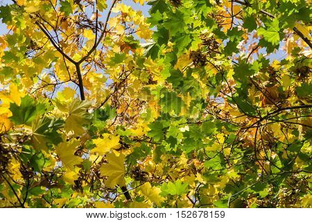 Fall Maple Leaves On Branches