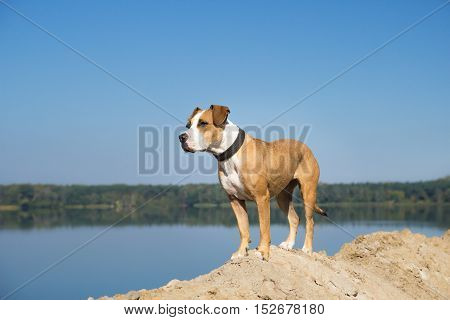 Dog by the lake looking into distance. Staffordshire terrier mix dog standing by the lake on sandy ground and looking into distance on a clear sunny day.
