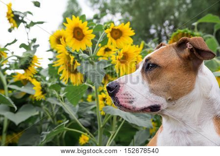 Dog posing in front of the sunflowers. Staffordshire terrier dog side-view portrait in front of sunflowers outside on a summer day.