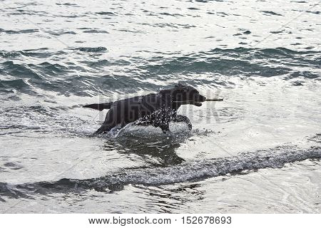 detail of black dog playing with water