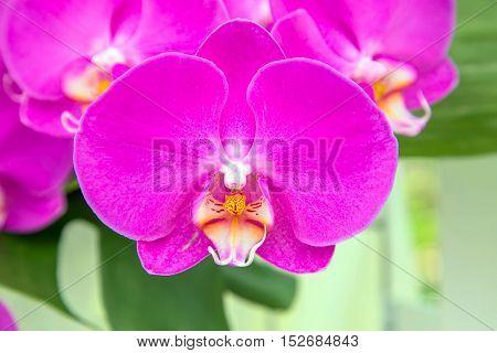 Orchid flowers (Orchidáceae) close-up. Purple Orchid flowers.