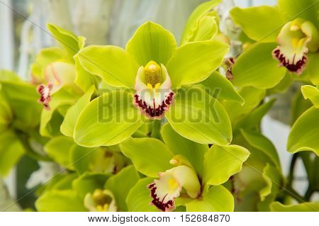 Orchid flowers (Orchidáceae) close-up. Green Orchid flowers.