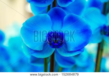 Orchid flowers (Orchidáceae) close-up. Blue Orchid flower.