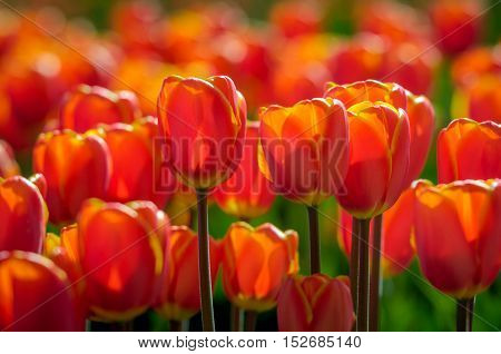 Translucent red and yellow blooming tulips in early morning sunlight growing in the field of a specialized Dutch tulip bulbs grower. It is a sunny day in the early spring season.