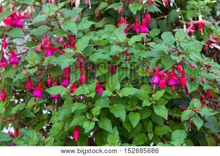 Closeup of Fuchsia flowers in pink and purple in the garden