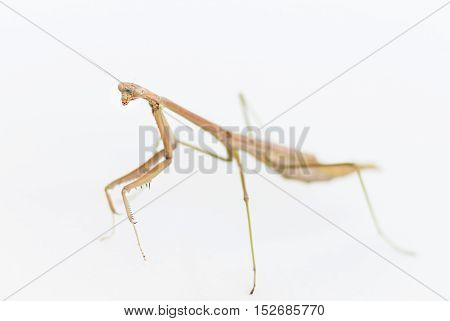 Brown Praying Mantis insect on a white background
