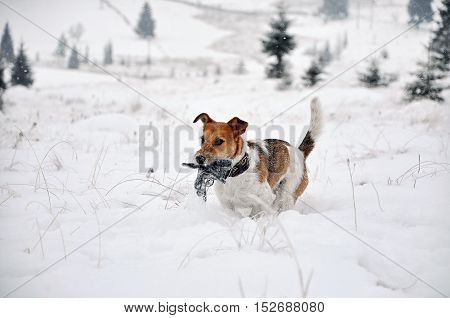 Baby Fox Terrier dog running in in the snow in the winter