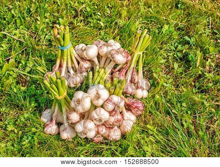 some bundles of garlic lying on the green grass on summer day closeup