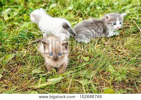 three kittens walking on grass in the garden on summer day
