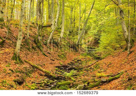 A small stream in autumn beech forest. The fallen leaves. Old logs and rocks covered with moss.