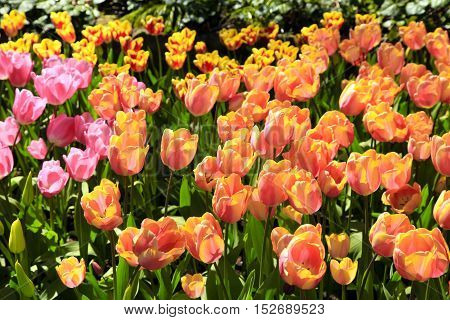 Beautiful view of yellow and pink tulips and sunlight in spring garden. Selective focus