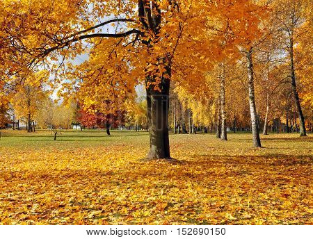Autumn park with yellow maple tree and the ground covered with leaves.