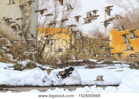 flock of sparrows flying through the dump winter migration, birds in flight