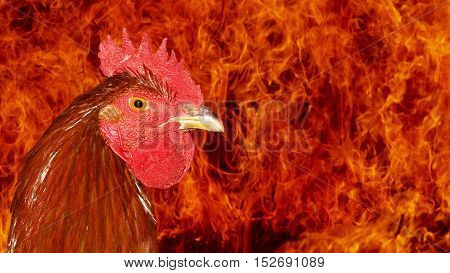 portrait rooster fire, fire in the background, flames, new year