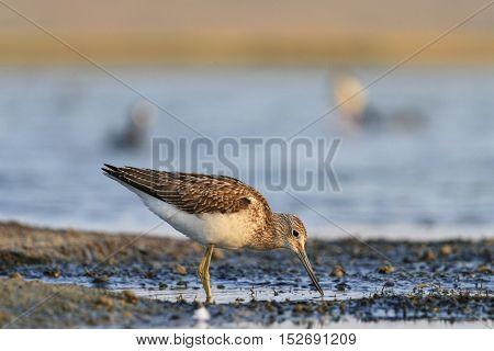 sandpiper on the estuary seeking food, Tringa nebularia standing in water, common greenshank