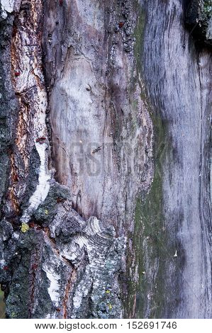 Texture, Pattern, Background.birch Tree Bark Old