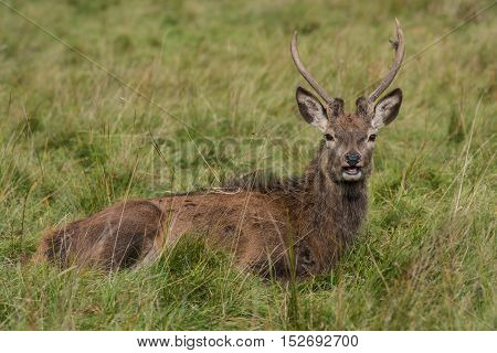 A close up image of a young red deer stag lying in the grass and looking forward toward the camera