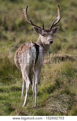 A young fallow deer buck, stag, looking backwards over his shoulder towards the camera. Taken in upright vertical format